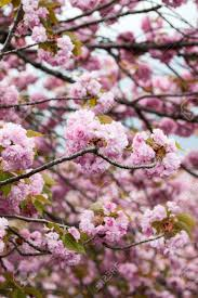 large pink flowers of cherry blossom tree up view of japanese