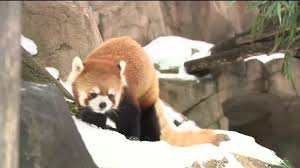 henry vilas zoo christmas lights photos henry vilas zoo s red panda enjoys winter wisc