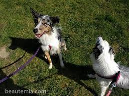 australian shepherd off leash review u003e marymoor off leash dog park u0026 bath dog wash ft border