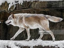 wolf from the side stock photos and pictures getty images