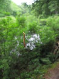 the world u0027s most recently posted photos of hanging and inchworm