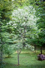 native indiana plants for arbor day plant the right tree piedmont gardener