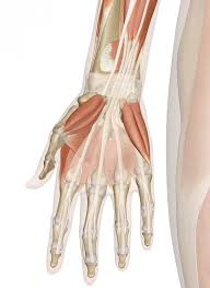 Human Anatomy Muscle Muscles Of The Hand And Wrist Interactive Anatomy Guide