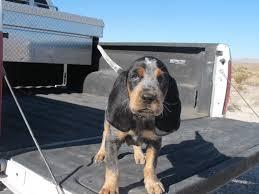 bluetick coonhound weight bluetick coonhound puppy color genetics