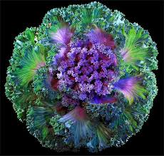 17 best ornamental cabbages images on cabbages