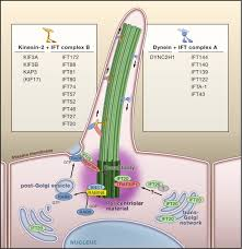 the vertebrate primary cilium in development homeostasis and