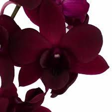 burgundy flowers burgundy black dendrobium orchids dendrobium orchids burgundy