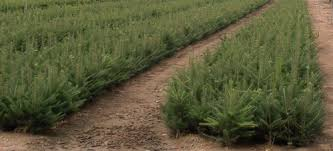 canaan fir a 2 25 trees lodholz north star acres inc