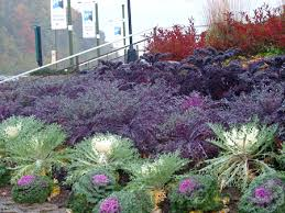 cabbages ornamental kale makes the fall garden bloom msu