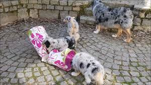 australian shepherd gray australian shepherd puppies playing 7 weeks old youtube