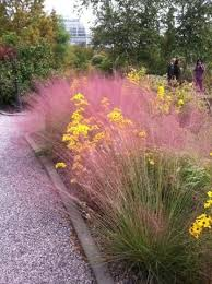 muhly grass it grows to about 3 high and wide pink muhly