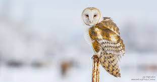 North American Barn Owl How To Enjoy Owls In Winter Or Anytime The National Wildlife