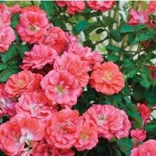 your favorite shrubs in tree form for sale nature