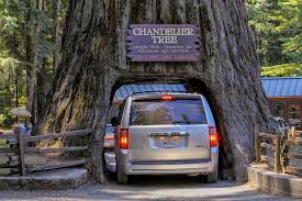 Chandelier Tree California California Redwood Forests Where To See The Big Trees