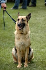 belgian shepherd ear problems german shepherd training the everything dog site