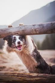 australian shepherd 1 jahr alt die besten 25 australian sheep ideen auf pinterest border