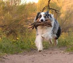 5 month australian shepherd 17 best images about cute things on pinterest working dogs