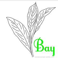 leaf coloring page book at wonderweirded wildlife com bay leaf