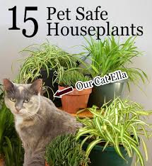 houseplants 15 pet friendly houseplants