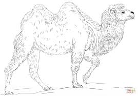 bactrian camel coloring page free printable coloring pages