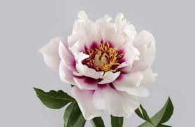peony flower study of a peony flower wall mural murals wallpaper