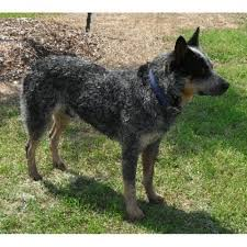 affenpinscher puppies for sale in texas australian cattle dog breeders in texas freedoglistings