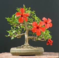 Which State Has A Hibiscus by Hibiscus Bonsai Trees