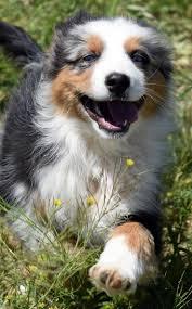 australian shepherd 13 weeks 471 best perro images on pinterest australian shepherd puppies