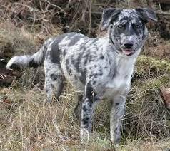 blue heeler x australian shepherd cele mai bune 25 de idei despre blue heeler temperament pe