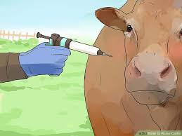 Backyard Cattle Raising How To Raise Cattle 10 Steps With Pictures Wikihow