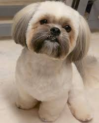 shih pooh haircut styling is fun everyone loves to look up to date and try all the