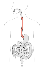 Esophagus And Stomach Anatomy Esophagus Wikipedia