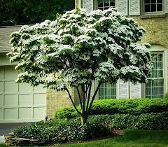 white flowering dogwood kousa dogwood tree the tree center