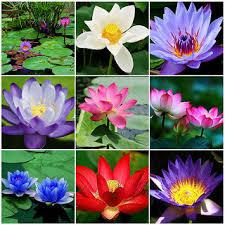 beautiful plants rare beautiful lotus flower seeds aquatic plants bowl lotus water
