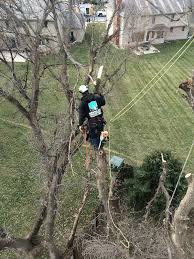 american arborist 5 box elder tree removals in omaha nebraska