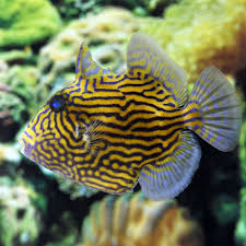 blue line triggerfish pseudobalistes fuscus for sale petsolutions