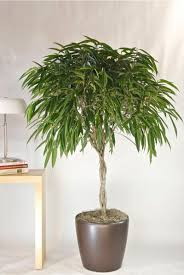 Great Indoor Trees Hgtv by Best 25 Ficus Tree Ideas On Pinterest Ficus Tree Indoor Ficus