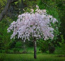 best 25 cherry tree ideas on weeping cherry