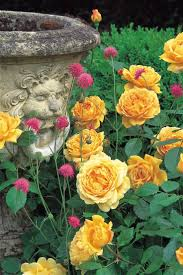 247 best rose garden images on pinterest flowers garden roses