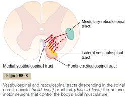 Role Of Brain Stem Role Of The Brain Stem In Controlling Motor Function Study