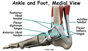 Top Foot Anatomy Acquired Flatfoot Deformity Houston Methodist