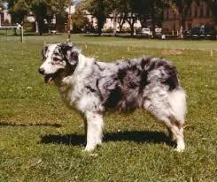 australian shepherd traits unforgettable aussies australian shepherds who left pawprints on