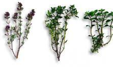 fleur de thym cuisine thym recettes et infos nutritionnelles larousse cuisine
