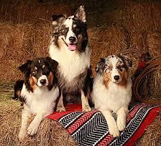 double j australian shepherds australian shepherd breeders oregon