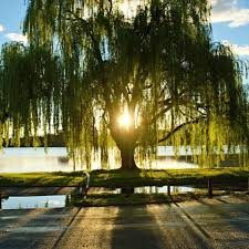 weeping willow the living urn