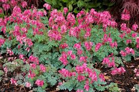 bleeding heart flower bleeding hearts plant care and collection of varieties garden org