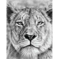 lioness pencil drawing young lion tattoos pinterest