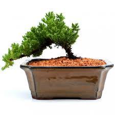 bonsai shop australia bonsai tools bonsai trees