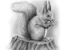 drawn squirrel realistic pencil and in color drawn squirrel