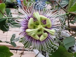passiflora edulis golden giant vine 10 seeds perennial passion